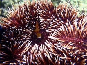 Supersucker and Native Urchin